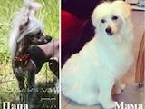 Собаки, щенки Китайская хохлатая собака, цена 4000 Грн., Фото