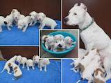 Собаки, щенята Аргентинський дог, ціна 1000 Грн., Фото