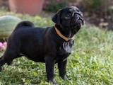 Собаки, щенки Мопс, цена 20000 Грн., Фото