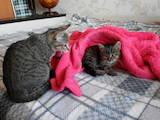 Кішки, кошенята Американська короткошерста, Фото