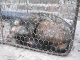 Собаки, щенята Різне, ціна 350 Грн., Фото