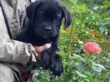 Собаки, щенки Кане Корсо, цена 16000 Грн., Фото