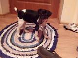Собаки, щенки Гладкошерстный фокстерьер, цена 800 Грн., Фото