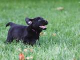 Собаки, щенята Лабрадор ретрівер, Фото
