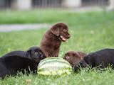 Собаки, щенки Лабрадор ретривер, Фото