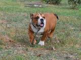 Собаки, щенята Англійський бульдог, ціна 13000 Грн., Фото