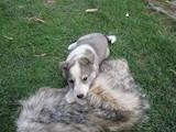 Собаки, щенята Західно-Сибірська лайка, ціна 700 Грн., Фото