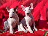 Собаки, щенята Бультер'єр, ціна 12000 Грн., Фото