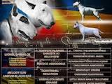 Собаки, щенки Бультерьер, цена 12000 Грн., Фото