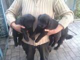 Собаки, щенята Ньюфаундленд, ціна 1000 Грн., Фото