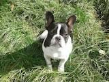 Собаки, щенята Французький бульдог, ціна 9200 Грн., Фото