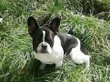 Собаки, щенки Французский бульдог, цена 9200 Грн., Фото