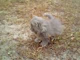 Кішки, кошенята Балінез, ціна 5 Грн., Фото