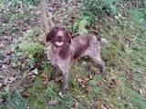 Собаки, щенки Жесткошерстная такса, цена 2500 Грн., Фото