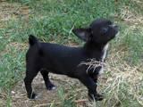 Собаки, щенки Чихуа-хуа, цена 5000 Грн., Фото