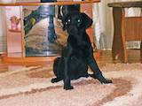 Собаки, щенки Лабрадор ретривер, цена 3300 Грн., Фото