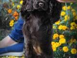 Собаки, щенята Американський коккер, ціна 19999 Грн., Фото