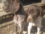 Собаки, щенки Немецкая гладкошерстная легавая, цена 1300 Грн., Фото