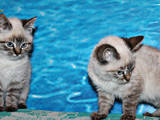 Кішки, кошенята Невськая маскарадна, ціна 700 Грн., Фото