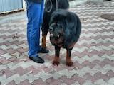 Собаки, щенята Тибетський мастиф, Фото