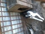 Собаки, щенки Русско-Европейская лайка, цена 700 Грн., Фото
