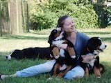 Собаки, щенки Бернская горная собака, цена 12500 Грн., Фото