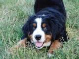 Собаки, щенята Гірський собака Берна, ціна 12500 Грн., Фото