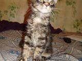 Кішки, кошенята Мейн-кун, ціна 6990 Грн., Фото