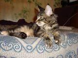 Кошки, котята Мэйн-кун, цена 6990 Грн., Фото