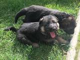 Собаки, щенята Німецька вівчарка, ціна 1500 Грн., Фото