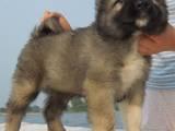 Собаки, щенята Кавказька вівчарка, ціна 6000 Грн., Фото