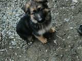 Собаки, щенки Немецкая овчарка, цена 1300 Грн., Фото