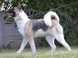 Собаки, щенята Американський акіта, ціна 25000 Грн., Фото
