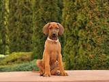 Собаки, щенята Родезійського ріджбек, ціна 1500 Грн., Фото