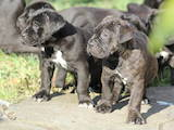 Собаки, щенята Кане Корсо, ціна 4000 Грн., Фото