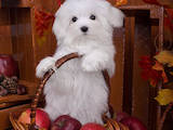 Собаки, щенята Мальтійська болонка, ціна 50000 Грн., Фото