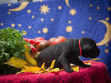 Собаки, щенята Чорний тер'єр, ціна 10000 Грн., Фото