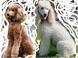 Собаки, щенята Великий пудель, ціна 8900 Грн., Фото