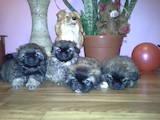 Собаки, щенки Пекинес, цена 700 Грн., Фото