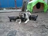 Собаки, щенята Кавказька вівчарка, ціна 4500 Грн., Фото