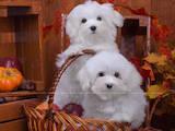 Собаки, щенята Мальтійська болонка, ціна 30000 Грн., Фото