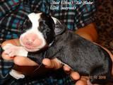 Собаки, щенки Среднеазиатская овчарка, цена 10 Грн., Фото