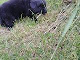 Собаки, щенки Ньюфаундленд, цена 5500 Грн., Фото