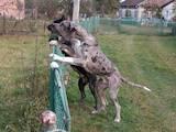 Собаки, щенки Немецкий дог, цена 2500 Грн., Фото