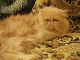 Кішки, кошенята Персидська, ціна 700 Грн., Фото