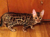 Кішки, кошенята Бенгальськая, ціна 13000 Грн., Фото