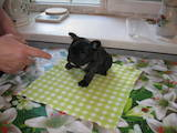 Собаки, щенята Французький бульдог, ціна 10500 Грн., Фото