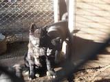 Собаки, щенята Російсько-Європейська лайка, ціна 5000 Грн., Фото