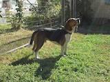 Собаки, щенята Бігль, ціна 10 Грн., Фото