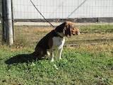 Собаки, щенки Бигль, цена 10 Грн., Фото